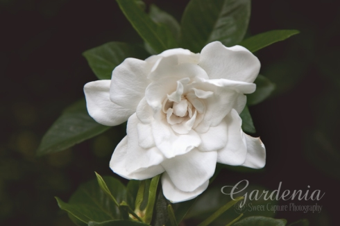 Gardenia:  transluscent haze 49%; Rosemary 40% masked off of flower