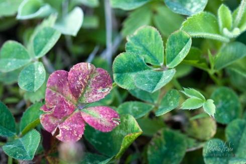 IMG_4859 red.4-leaf.clover_smw