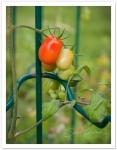 IMG_9607 tomatoes_smf
